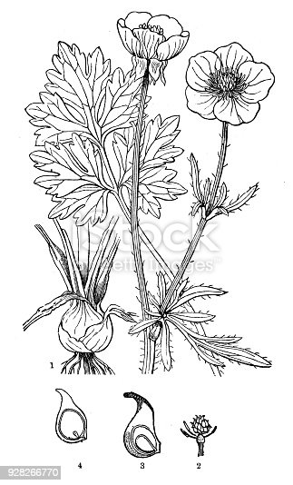Botany plants antique engraving illustration: Ranunculus bulbosus (St. Anthony's turnip, bulbous buttercup)