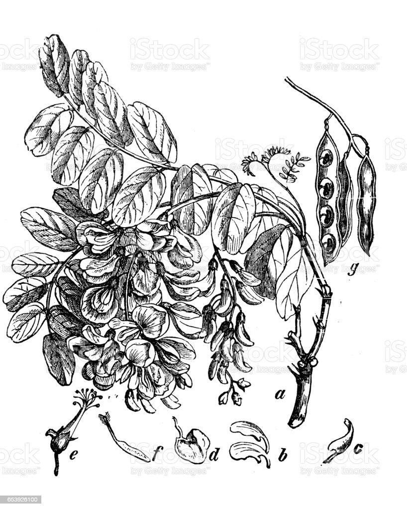 Botany plants antique engraving illustration: Robinia pseudoacacia (black locust) vector art illustration