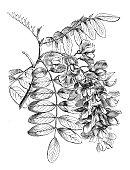Free picture: black, locust, flowers