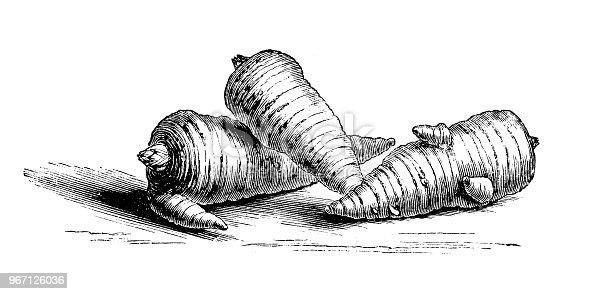 Botany plants antique engraving illustration: Roots of Bulbous Chervil