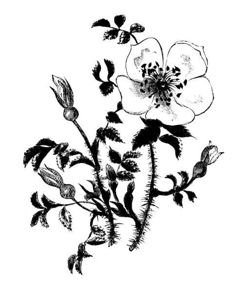 Botany plants antique engraving illustration: Rosa spinosissima Botany plants antique engraving illustration: Rosa spinosissima wild rose stock illustrations