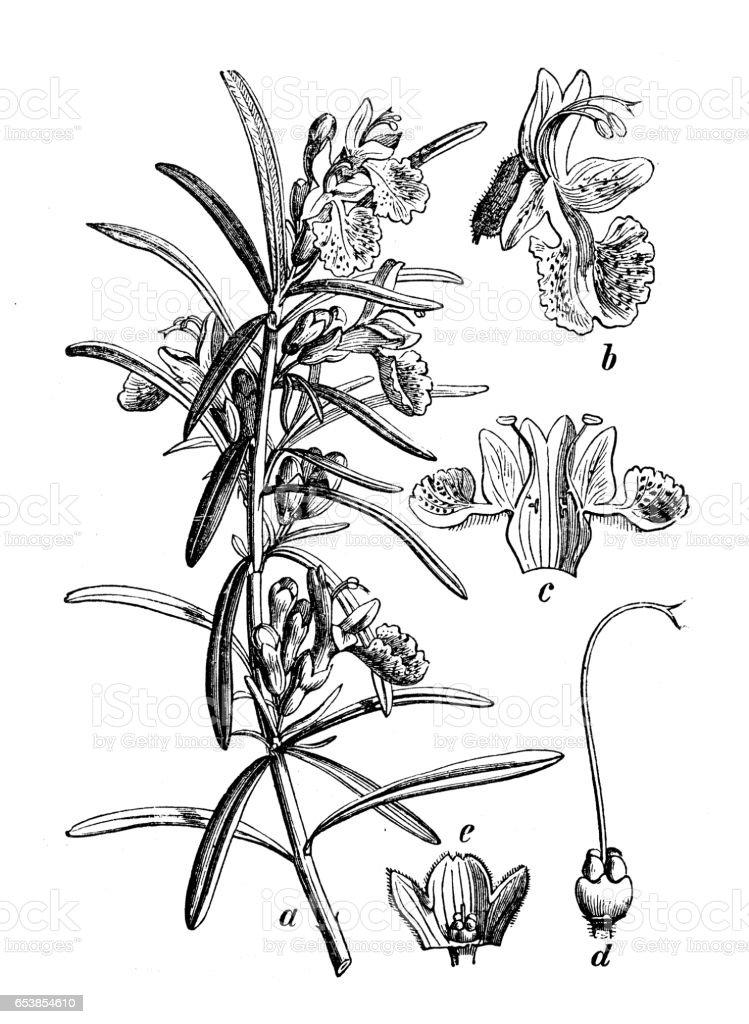 Plantas de botânica antiga ilustração de gravura: Rosmarinus officinalis (Alecrim) - ilustração de arte em vetor