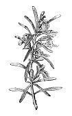 Botany plants antique engraving illustration: Rosmarinus officinalis (rosemary)