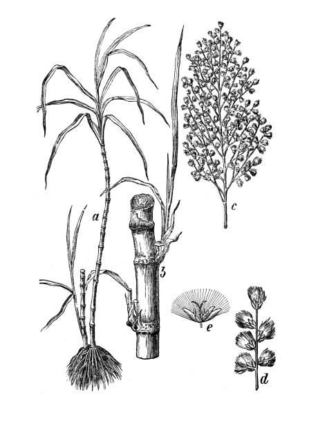 illustrazioni stock, clip art, cartoni animati e icone di tendenza di botany plants antique engraving illustration: saccharum officinarum (sugarcane) - canna da zucchero