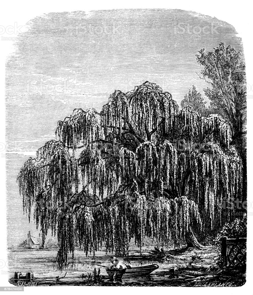 Botany plants antique engraving illustration: Salix babylonica (Babylon willow, weeping willow) vector art illustration