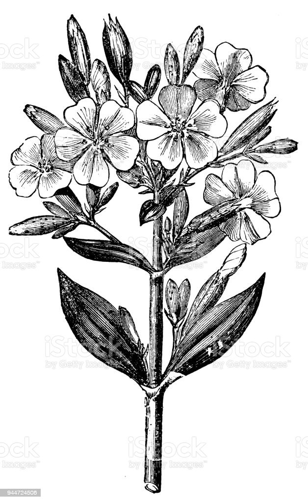 Botany plants antique engraving illustration: Saponaria officinalis (Soapwort) vector art illustration