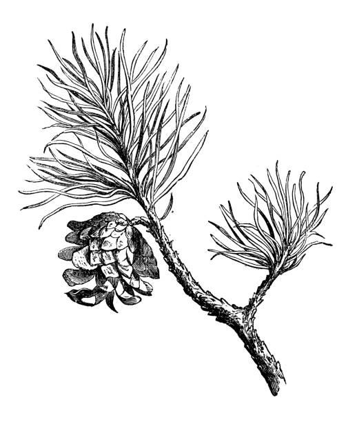 bildbanksillustrationer, clip art samt tecknat material och ikoner med botanik växter antik gravyr illustration: tall (pinus sylvestris) - fur