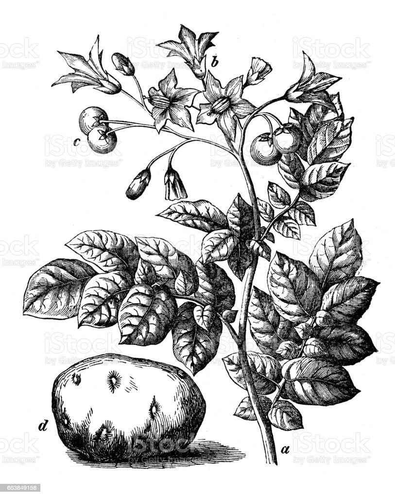 Botany plants antique engraving illustration: Solanum tuberosum (potato) vector art illustration