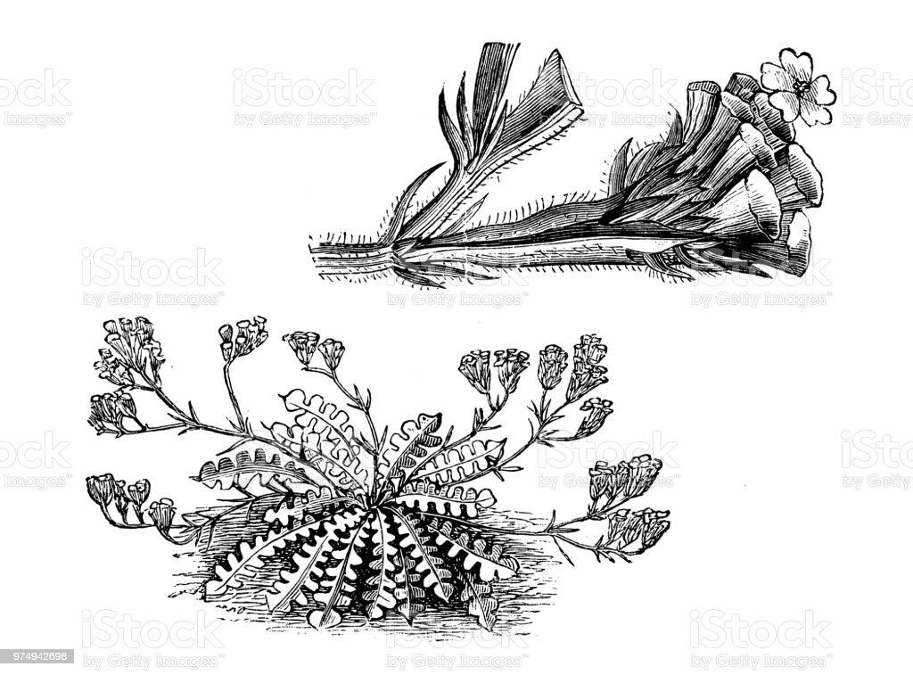 植物植物アンティーク彫刻イラスト スターチス Sinuata 19世紀の