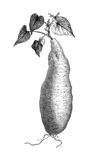 Botany plants antique engraving illustration: sweet potato (Ipomoea batatas)