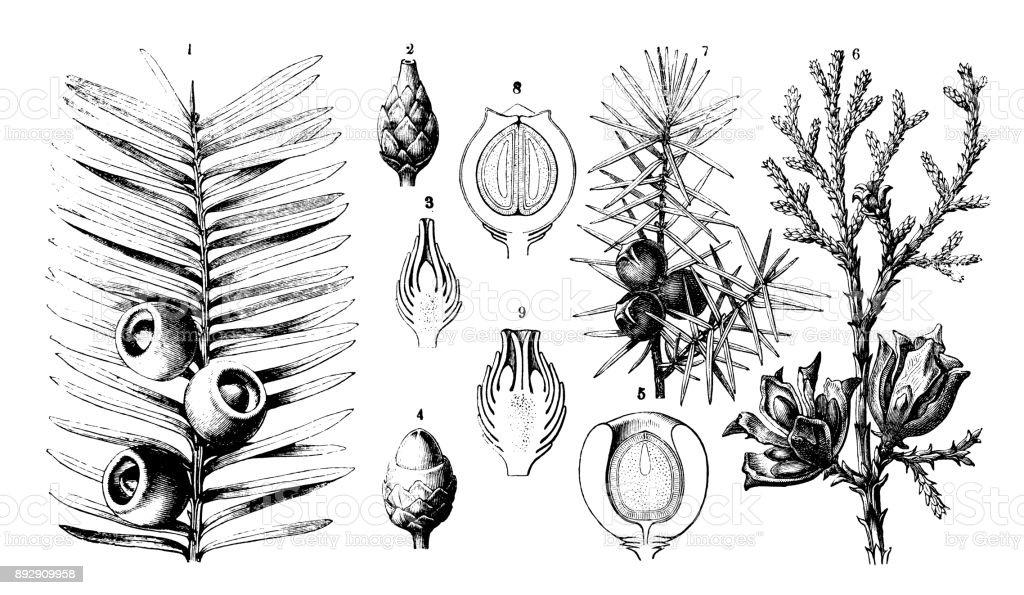 Botany plants antique engraving illustration: Taxus baccata (yew), Platycladus orientalis (Chinese thuja), Juniperus communis (juniper) - illustrazione arte vettoriale