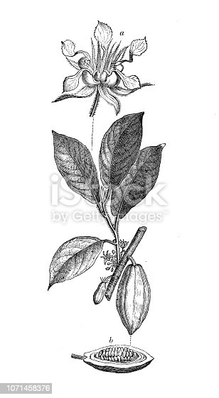 Botany plants antique engraving illustration: Theobroma cacao, cacao tree, cocoa tree