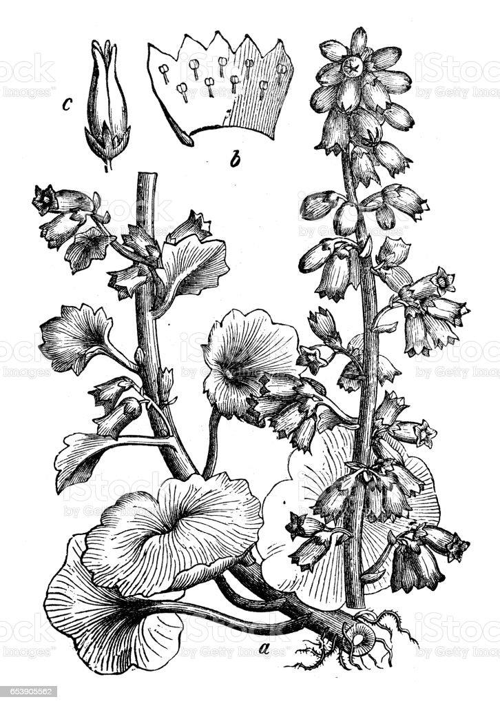 Botany plants antique engraving illustration: Umbilicus rupestris (Navelwort, Penny-pies, Wall Pennywort) vector art illustration