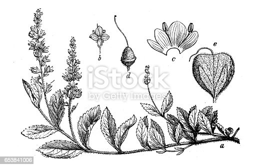 Botany plants antique engraving illustration: Veronica officinalis (heath speedwell, common gypsyweed, common speedwell or Paul's betony)
