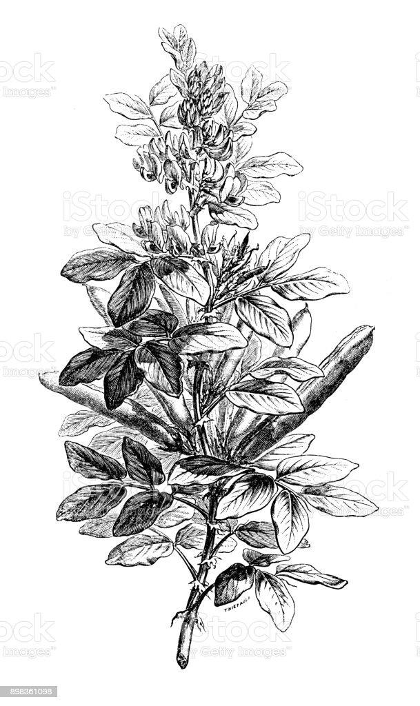 Botany plants antique engraving illustration: Vicia faba (broad bean, fava bean, faba bean, field bean, bell bean, tic bean) vector art illustration