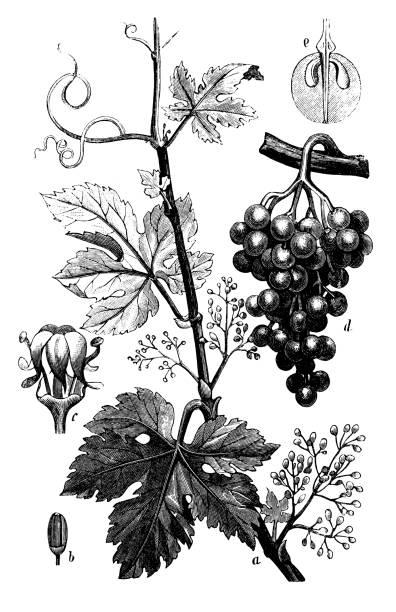 植物植物アンティーク彫刻イラスト: ヴィティス ・ ヴィニヘラ (共通のブドウツル) - ぶどう イラスト点のイラスト素材/クリップアート素材/マンガ素材/アイコン素材