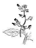 istock Botany plants antique engraving illustration: Water Figwort plugs (Scrophularia aquatica) 945057452