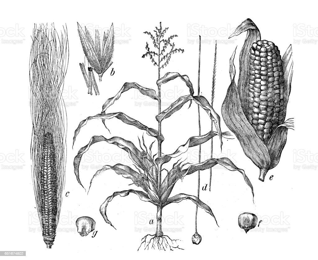 Botany plants antique engraving illustration: Zea mays (Maize, corn) vector art illustration