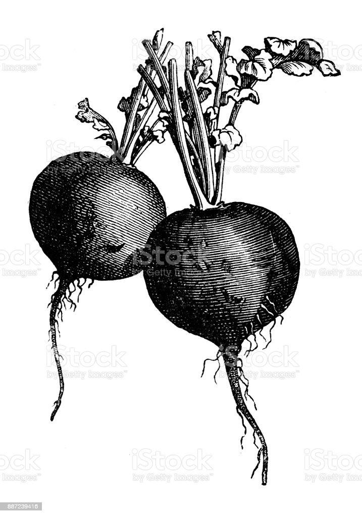 Botany vegetables plants antique engraving illustration: Black Radish vector art illustration