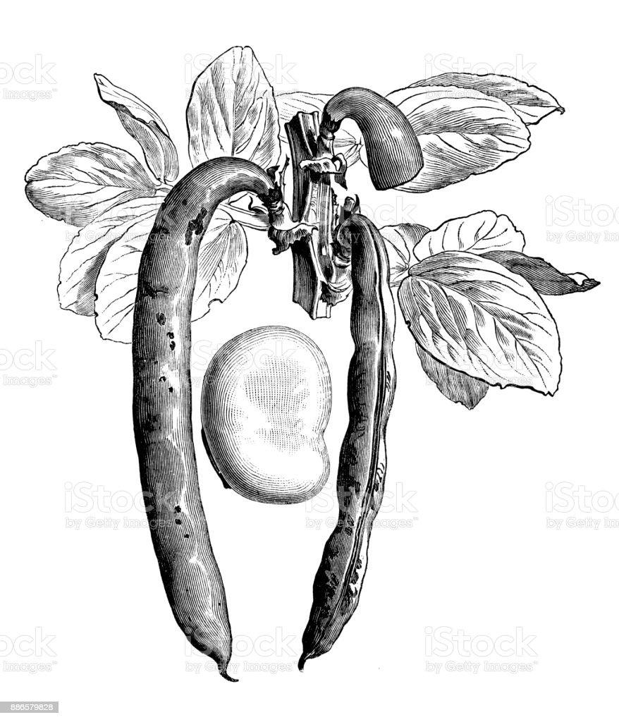 Botany vegetables plants antique engraving illustration: Broad bean vector art illustration