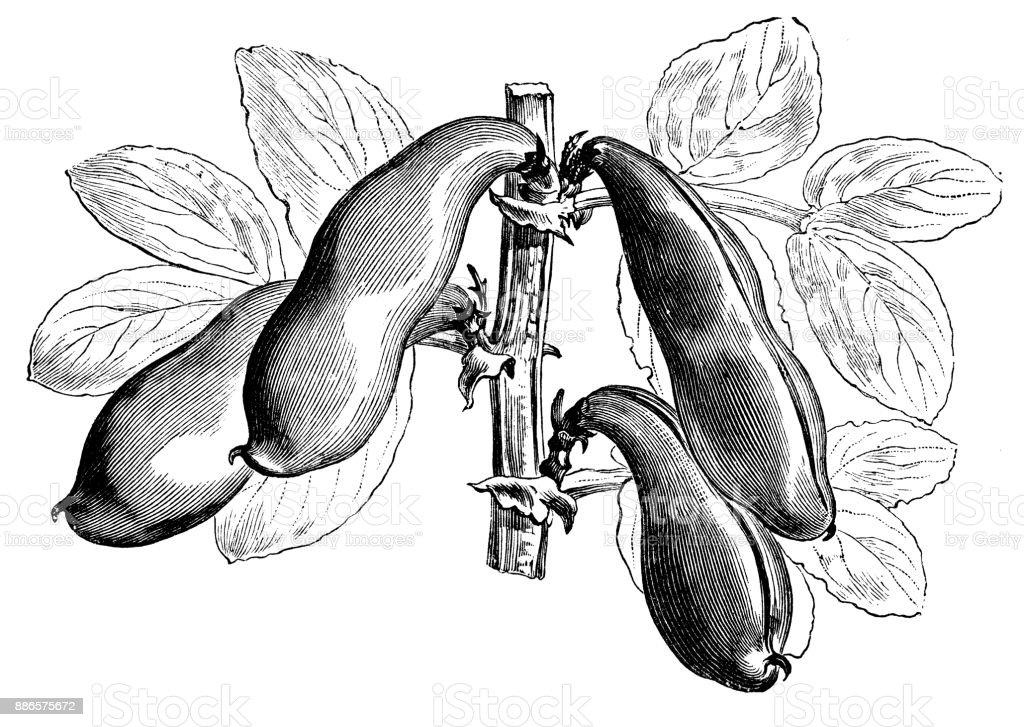 Botany vegetables plants antique engraving illustration: Broad Windsor bean vector art illustration