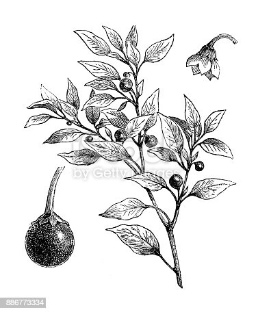 istock Botany vegetables plants antique engraving illustration: Cherry Peppers 886773334