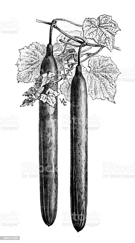 Botany vegetables plants antique engraving illustration: Duke of Bedford cucumber vector art illustration