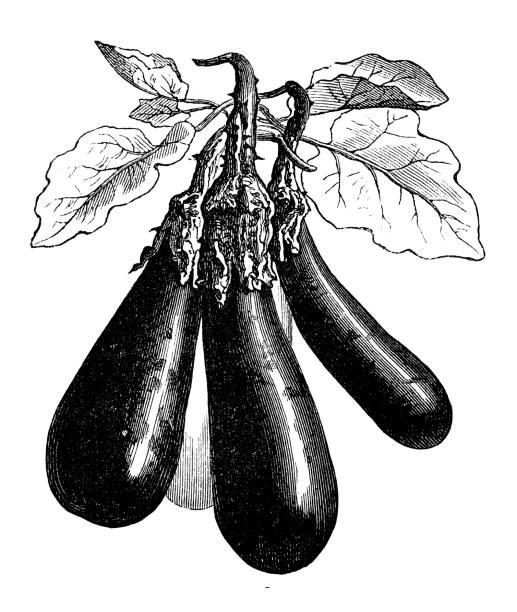 illustrazioni stock, clip art, cartoni animati e icone di tendenza di botany vegetables plants antique engraving illustration: eggplant long - melanzane