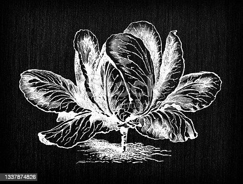 istock Botany vegetables plants antique engraving illustration: Large York Cabbage 1337874826
