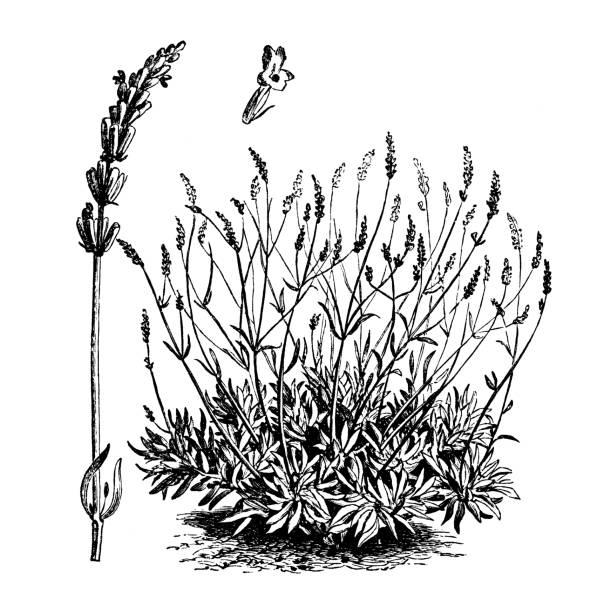 bildbanksillustrationer, clip art samt tecknat material och ikoner med botanik grönsaker växter antik gravyr illustration: lavandula spica (lavendel) - lavender engraving