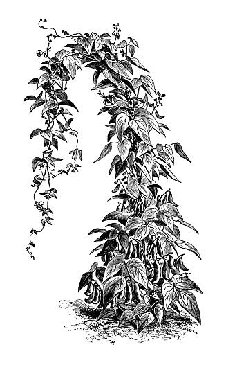 Botany vegetables plants antique engraving illustration: Lima Bean