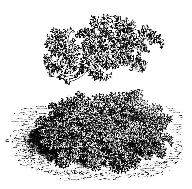 Botany vegetables plants antique engraving illustration: Moss curled endive Botany vegetables plants antique engraving illustration: Moss curled endive moss stock illustrations