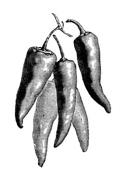 ilustrações de stock, clip art, desenhos animados e ícones de botany vegetables plants antique engraving illustration: red peppers - red bell pepper isolated