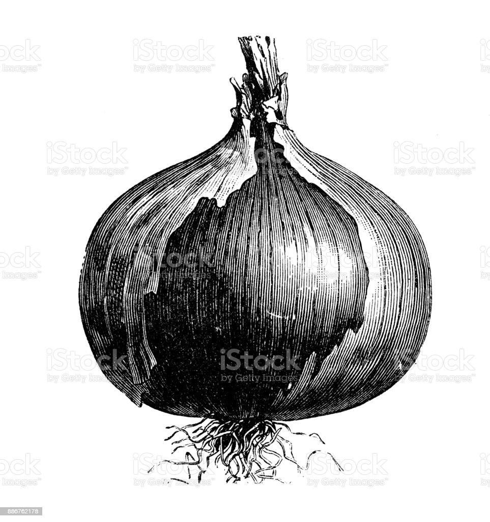 Botany Vegetables Plants Antique Engraving Illustration ...