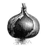 Botany vegetables plants antique engraving illustration: Rocca Red Onion