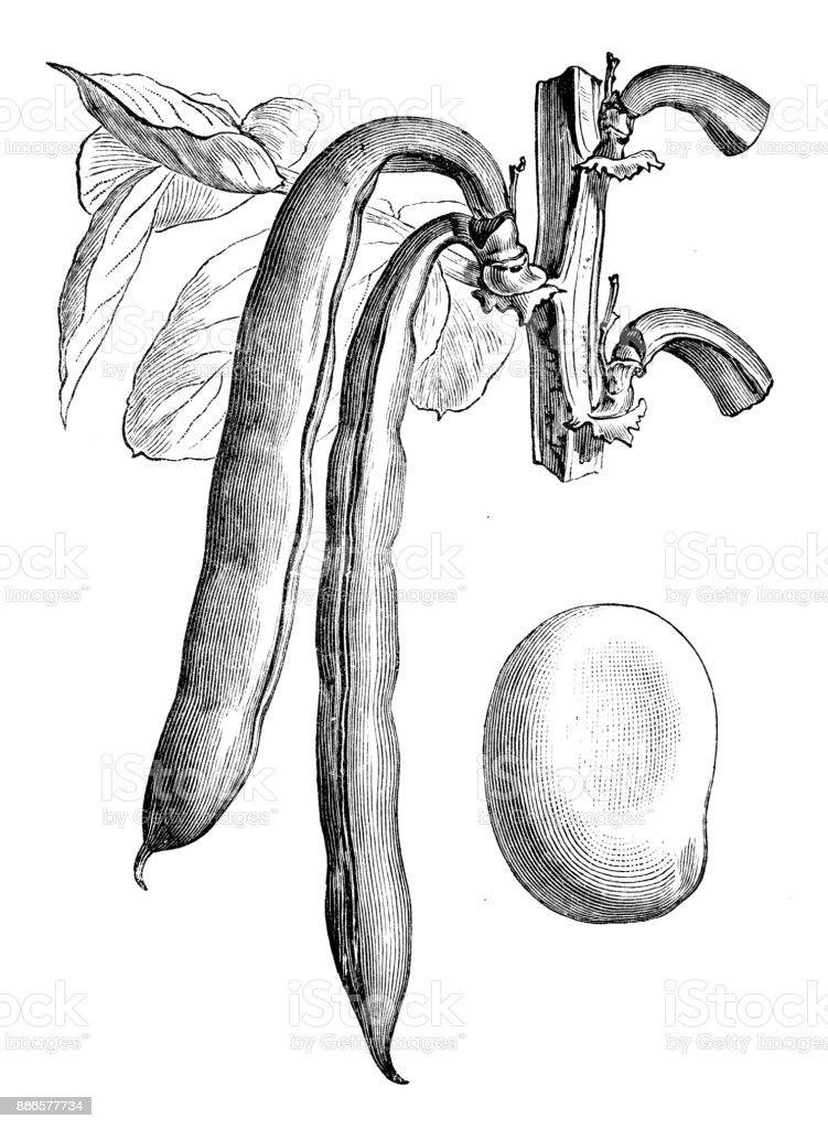 Botany vegetables plants antique engraving illustration: Seville Broad bean vector art illustration