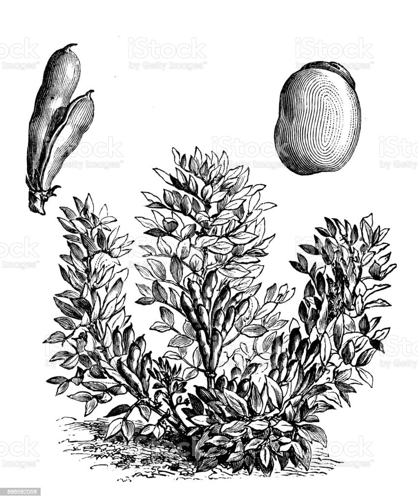 Botany vegetables plants antique engraving illustration: Small Broad bean vector art illustration