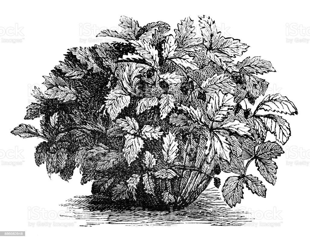 Ilustración de Botánica Plantas Vegetales Antiguos Ilustración ...