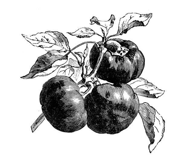 ilustrações de stock, clip art, desenhos animados e ícones de botany vegetables plants antique engraving illustration: tomato peppers - red bell pepper isolated