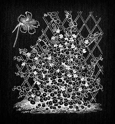 Botany vegetables plants antique engraving illustration: Tropaeolum majus (garden nasturtium, Indian cress or monks cress)