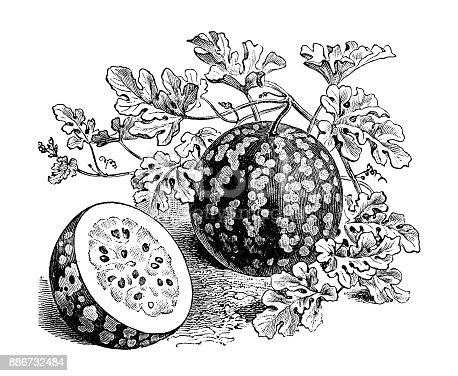 Botany vegetables plants antique engraving illustration: Watermelon