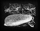 istock Botany vegetables plants antique engraving illustration: Wax Gourd 1337850871