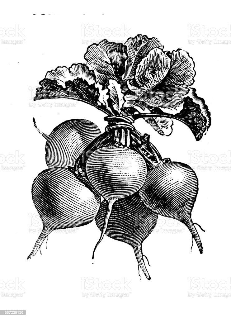 Botany vegetables plants antique engraving illustration: Yellow or Red Radish vector art illustration