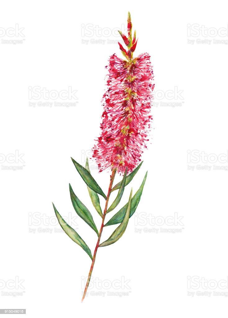 Bottlebrush Flower Illustration vector art illustration