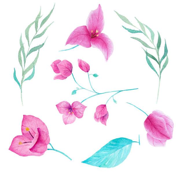 Bouganvillea colección acuarela de flores sobre fondo blanco. Puede ser utilizado para decoración, invitación, tarjeta, impresión. - ilustración de arte vectorial