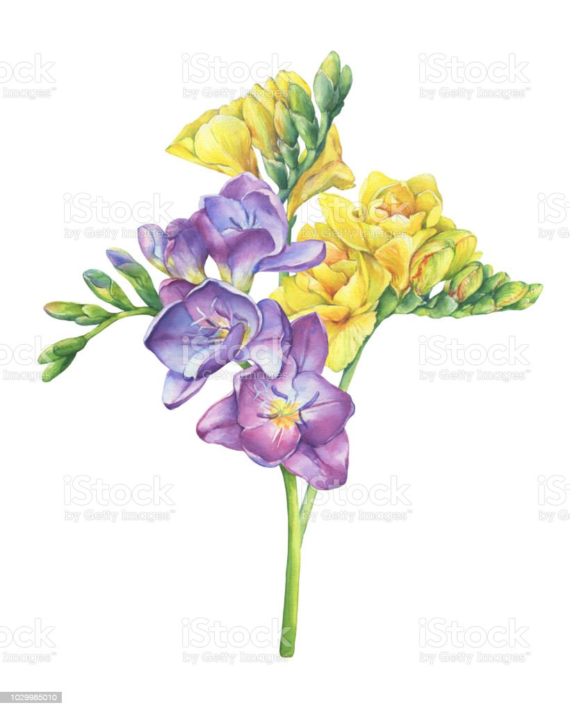 Bouquet Of Branches Violet And Yellow Freesia Flowers With Buds