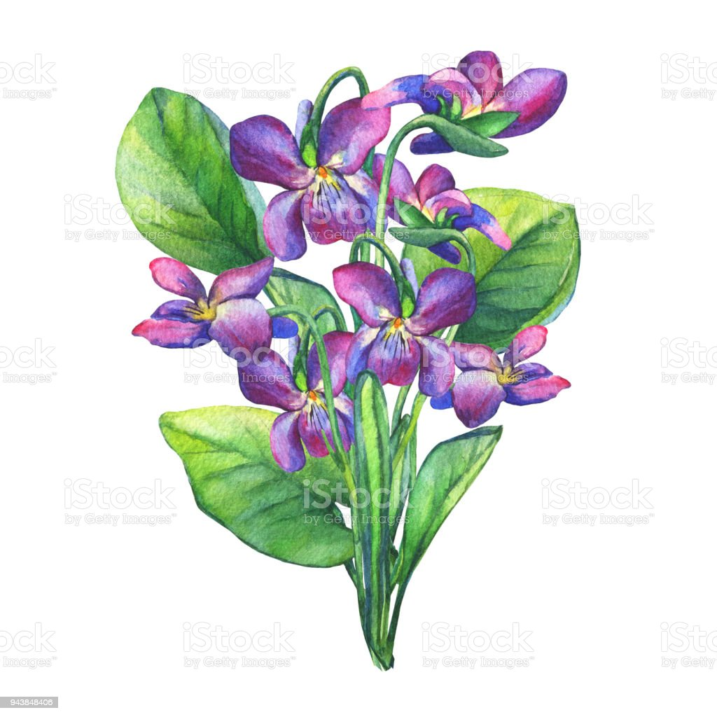 bouquet de fleurs violettes odorantes aquarelle dessin s la main peinture illustration isol. Black Bedroom Furniture Sets. Home Design Ideas