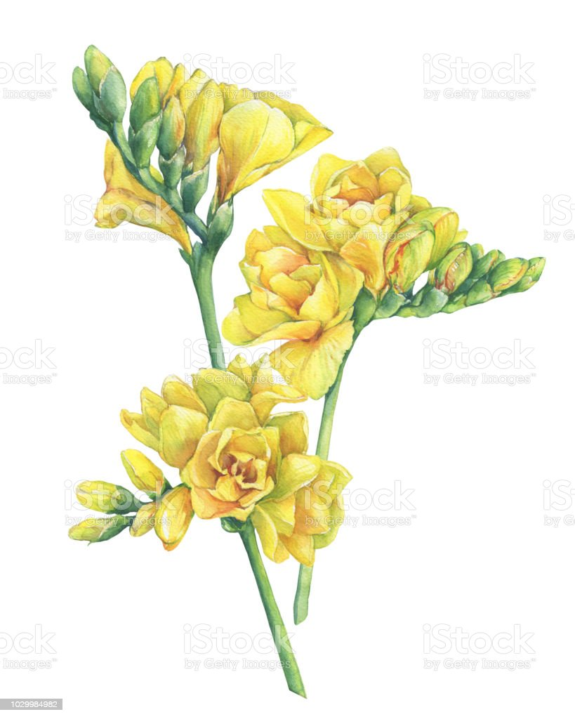 Bouquet Of Fresh Branches Yellow Freesia Flowers With Buds Floral