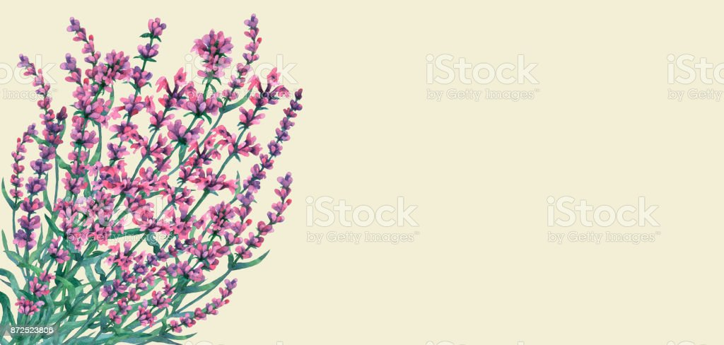 Bouquet of lavender. Watercolor hand painting illustration on isolate light green background. vector art illustration
