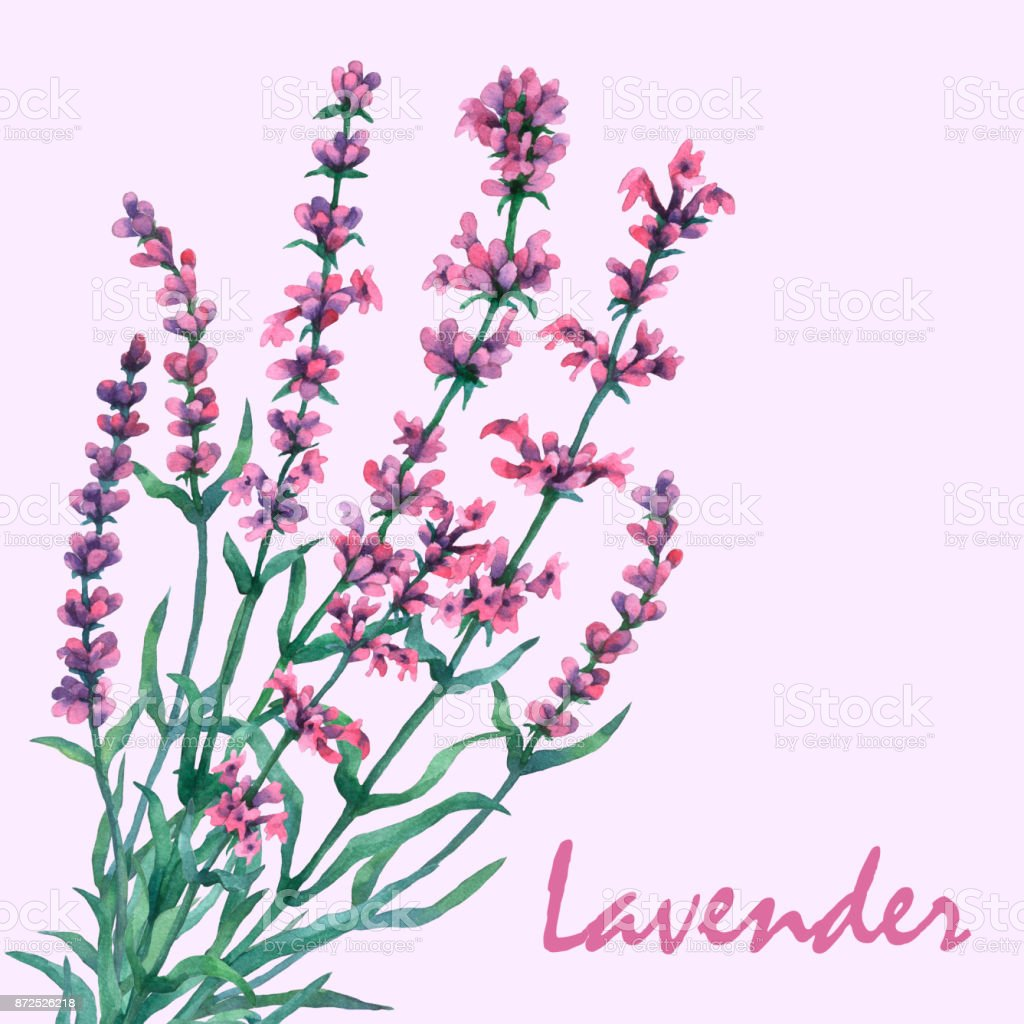 Bouquet of lavender. Watercolor hand painting illustration on isolate violet background. vector art illustration